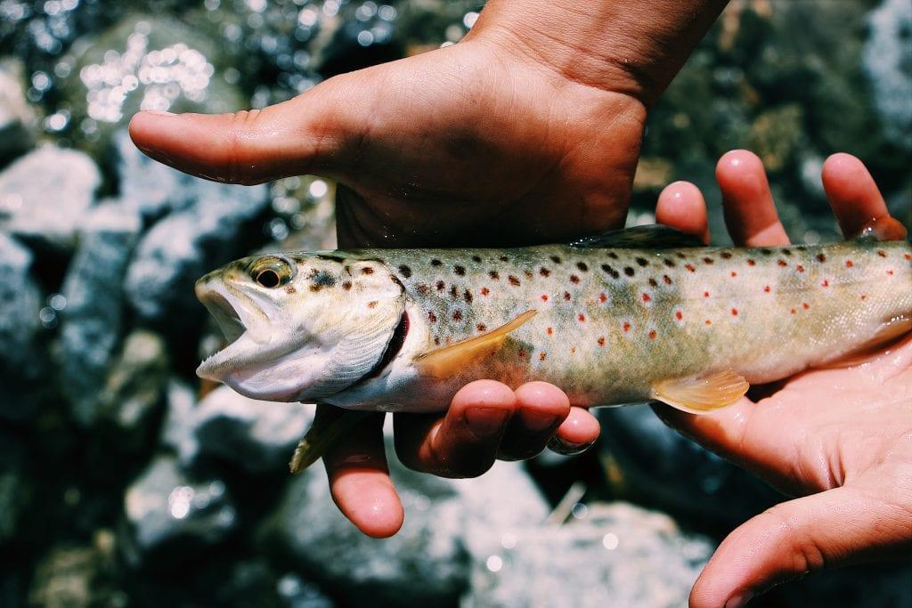 Using fish with aquaponics