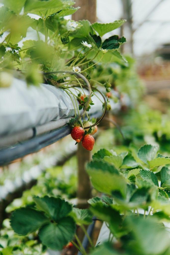Grow fresh Strawberries with aquaponics