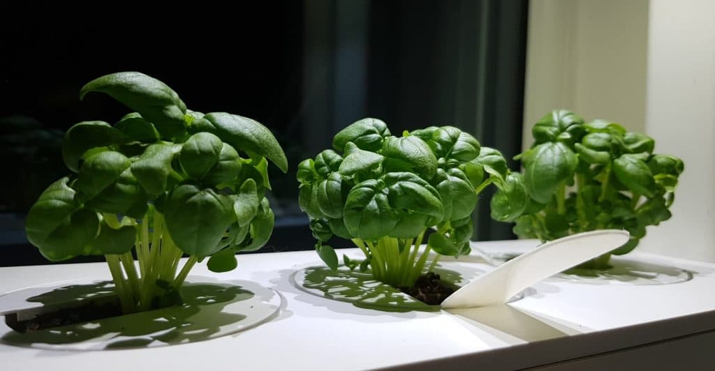 Click and Grow Basil 1 week in (7 days)